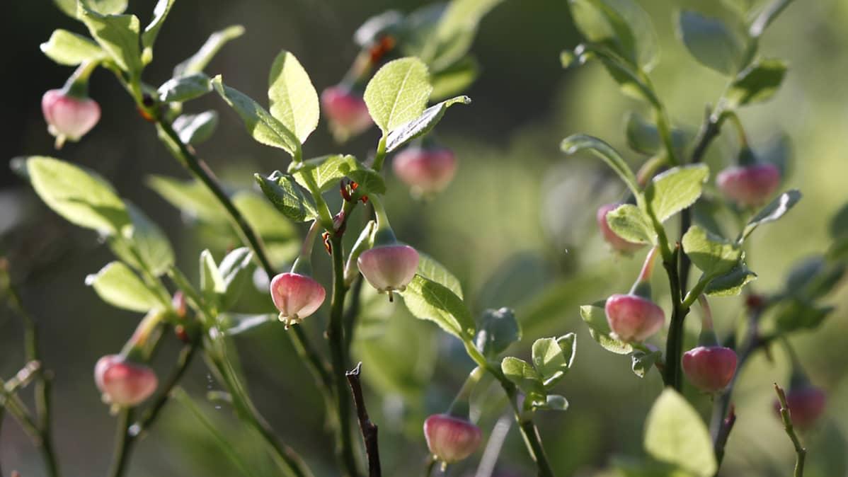 Mustikanvarsissa kukintoja.