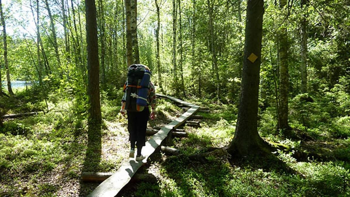 Retkeilijä pitkospuilla Liesjärven kansallispuistossa.