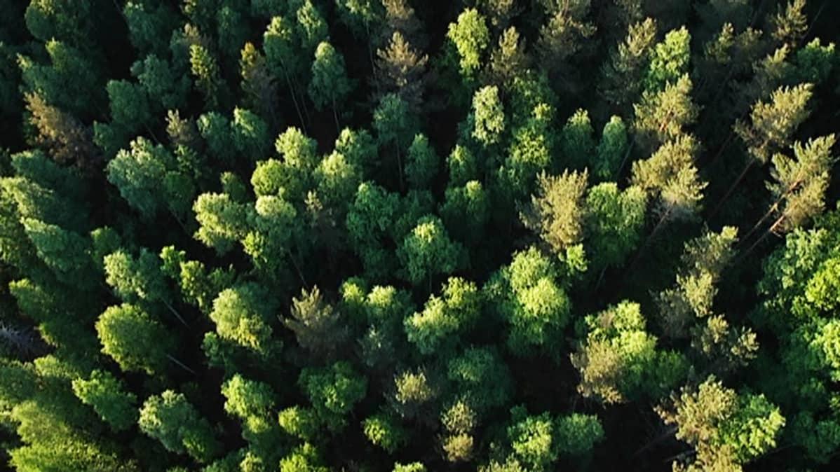 Metsää ilmasta.