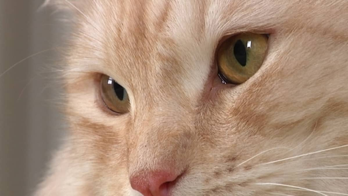 Kissa lähikuvassa.