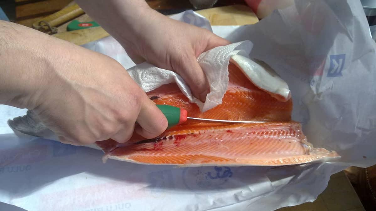 Kala leikataan selkään asti