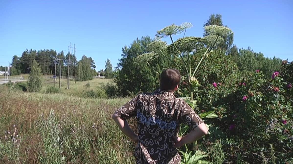 Jättiputki kasvaa pari metriä korkeaksi.