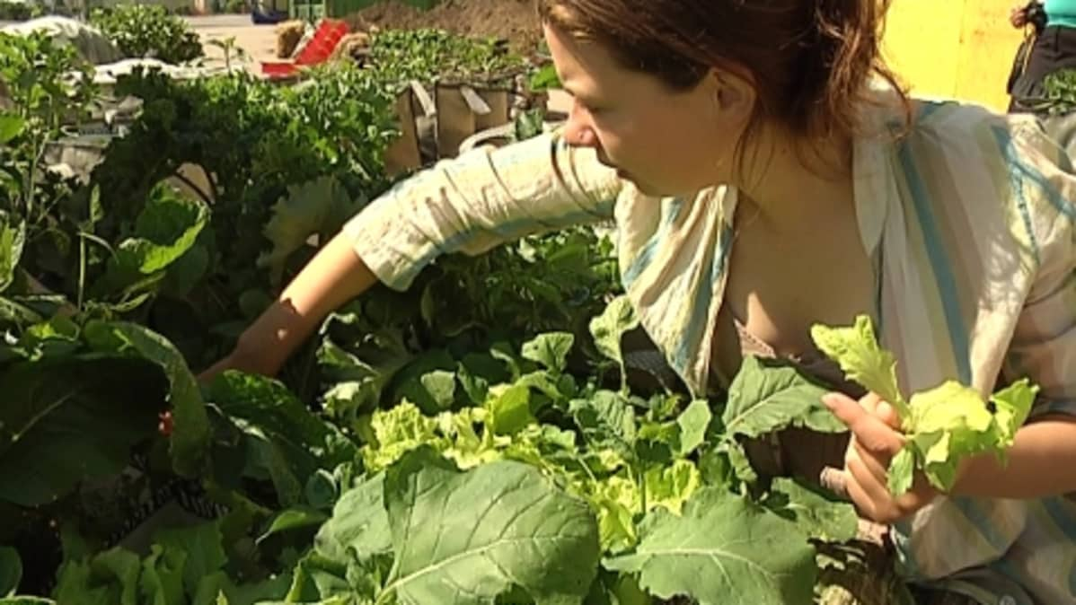 Tanja Korvenmaan palstalla kasvaa muun muassa lehtikaalia ja kurpitsaa sekä salaattia ja retiisejä.