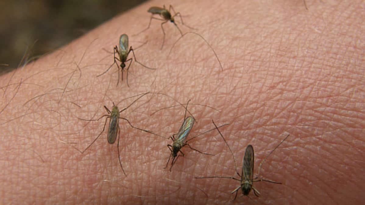 Hyttysiä iholla