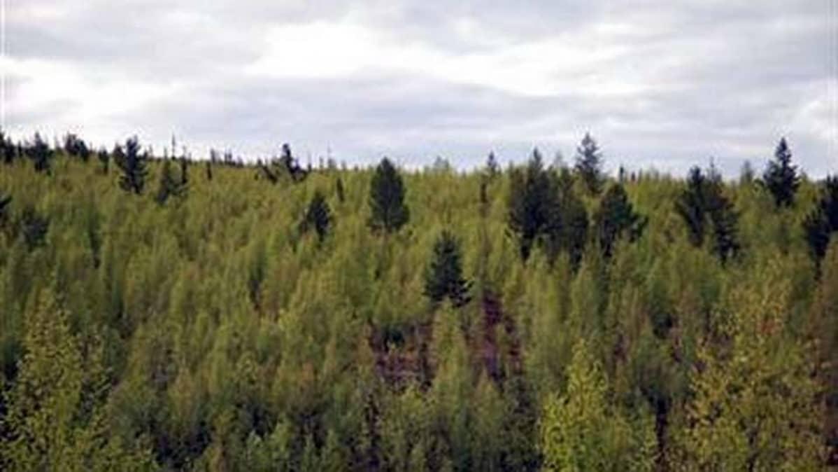 Kuva Sallan Tuntsan metsistä.