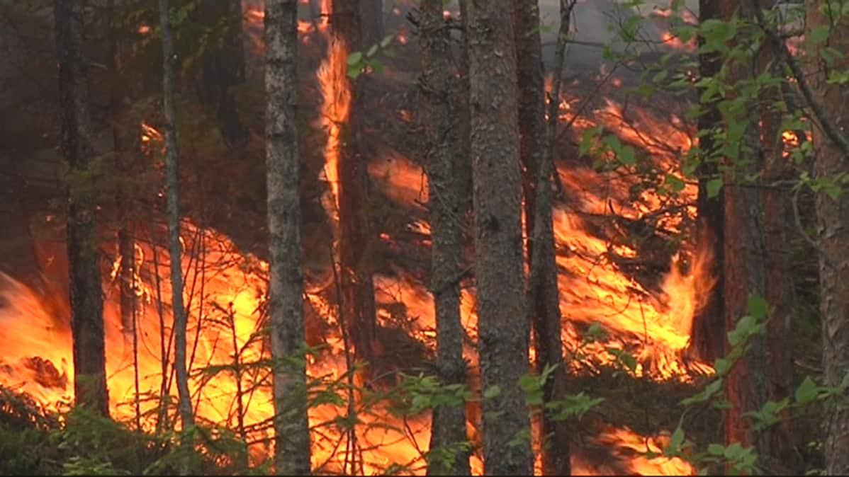 Tulimatto peittää mäntyvaltaisen metsän aluskasvillisuuden.