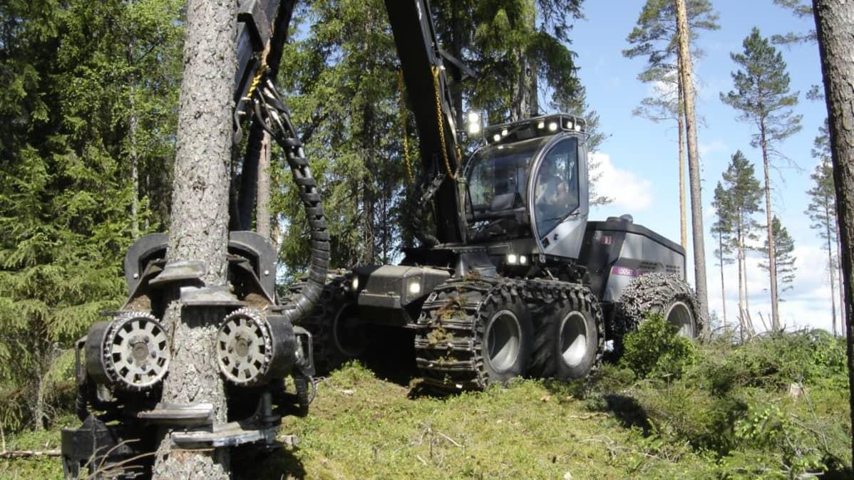 Harvesteri kaataa puuta.