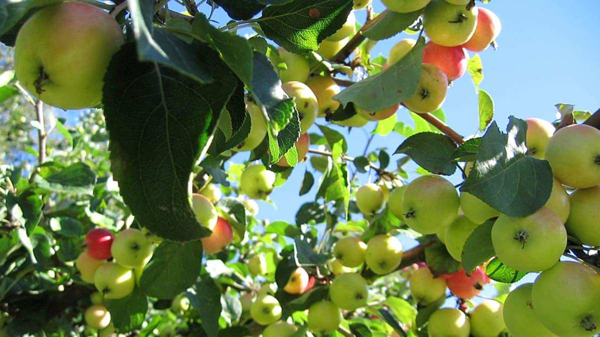 Kuvassa omenoita omanapuussa.