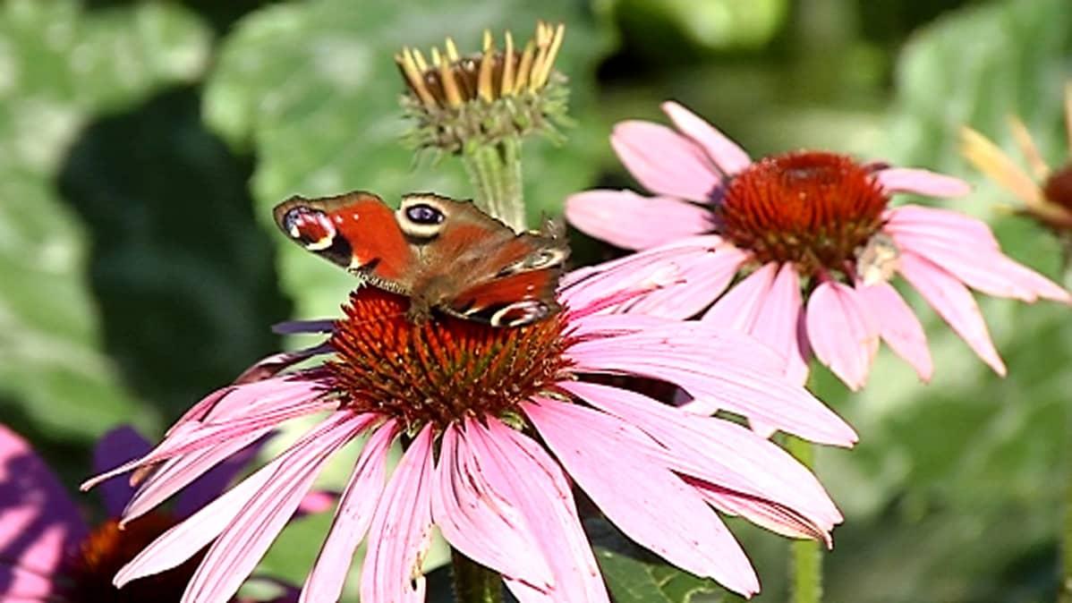 Kuvassa kirjava perhonen vaaleanpunaisessa kukassa