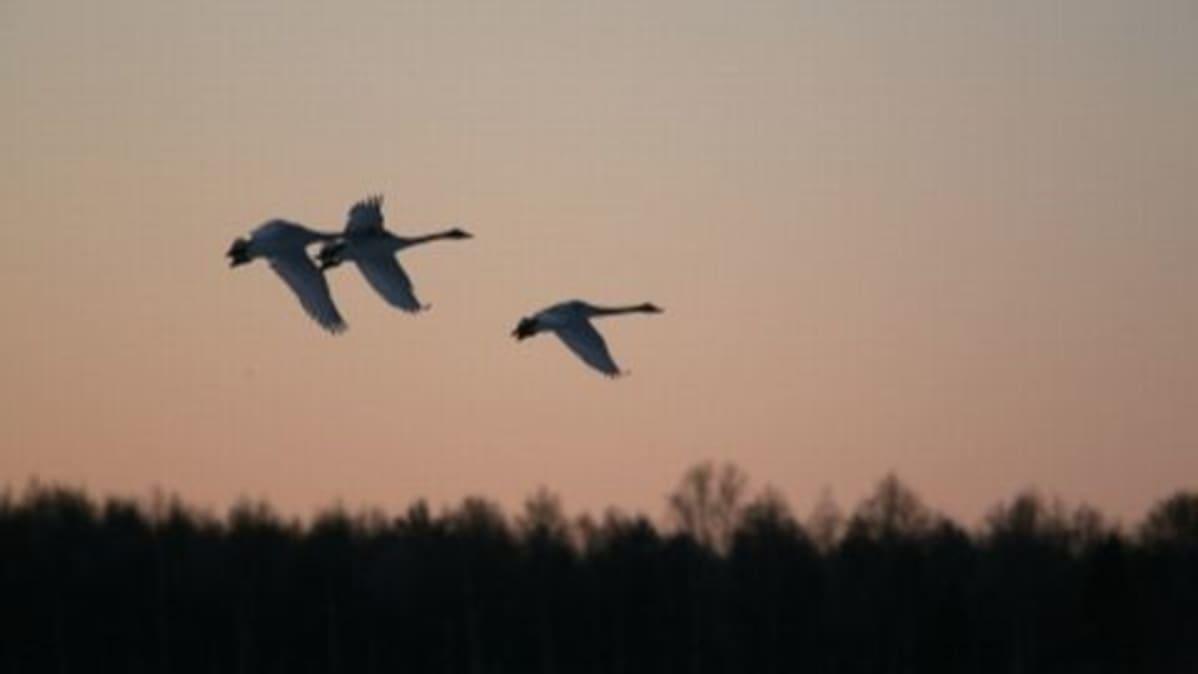 Kolme joutsenta lentää