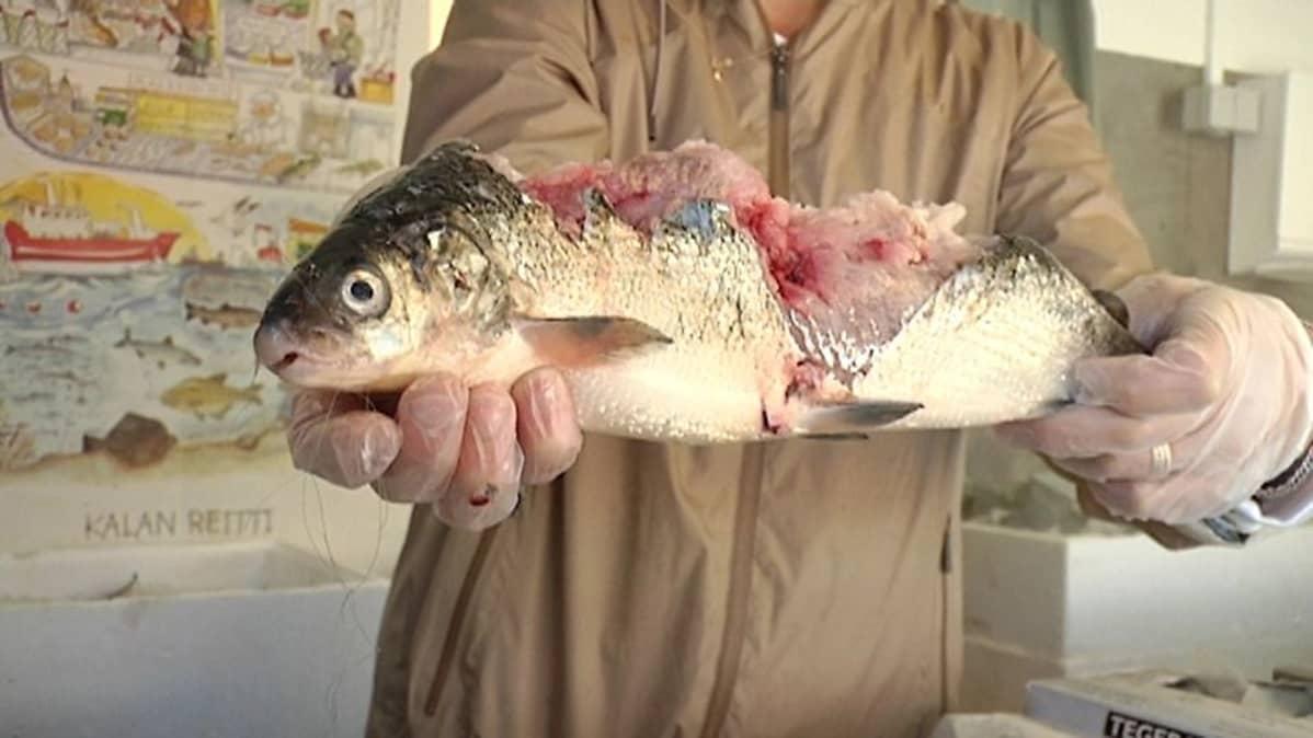 Hylkeen syömä kala.