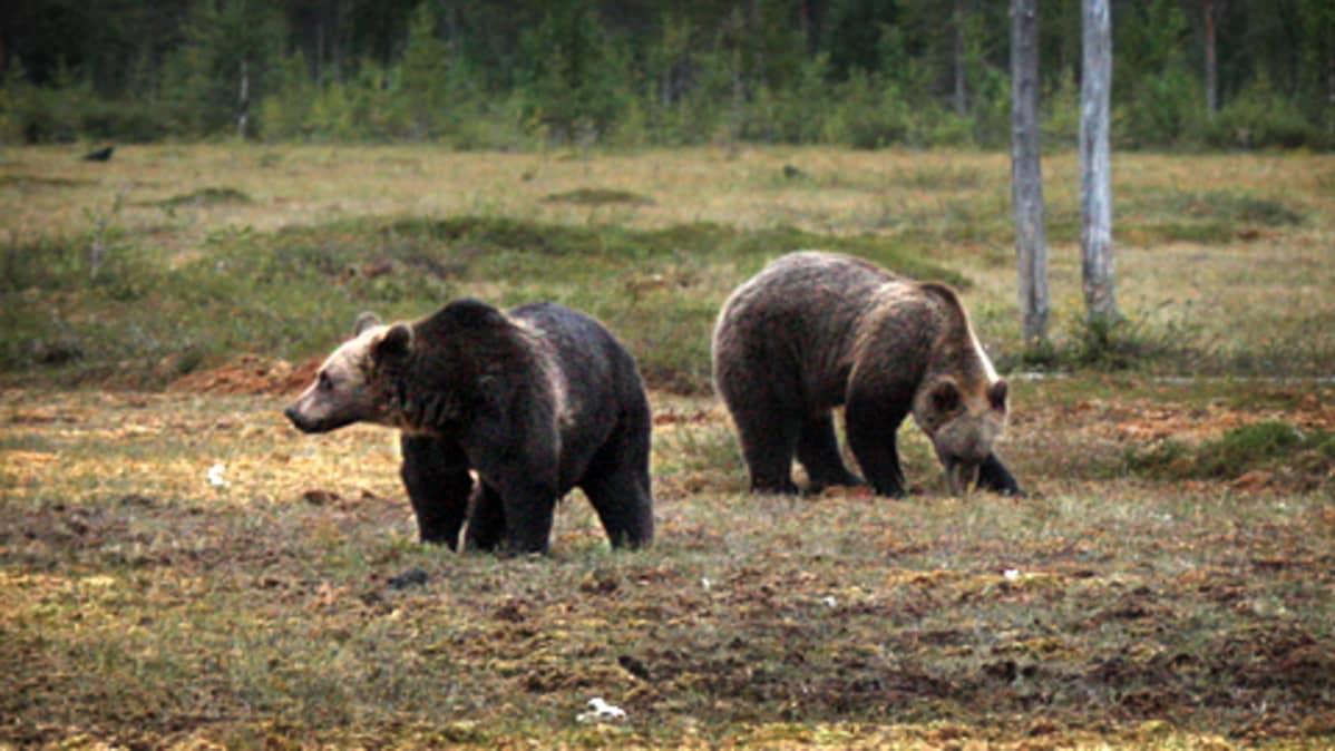 Kaksi karhua suolla