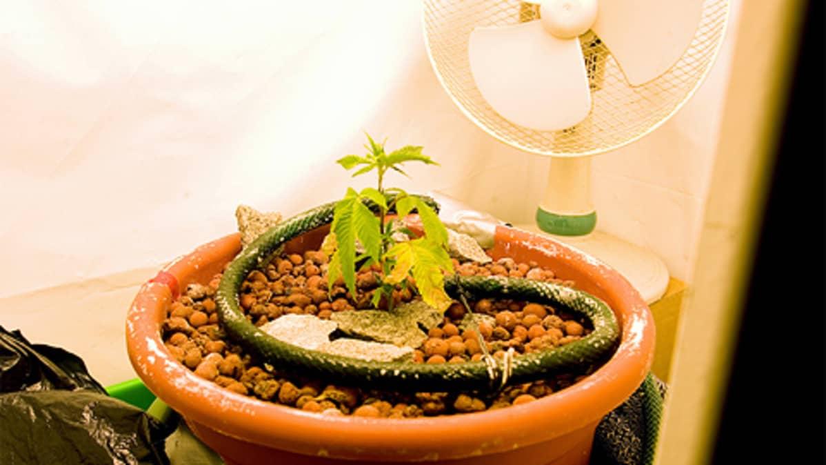 Kannabis-kasveja kasvamassa