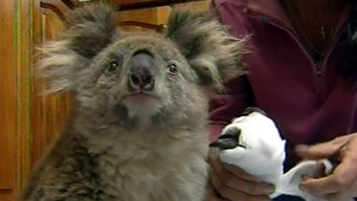 Rakkoja saanutta koalan käpälää sidotaan.