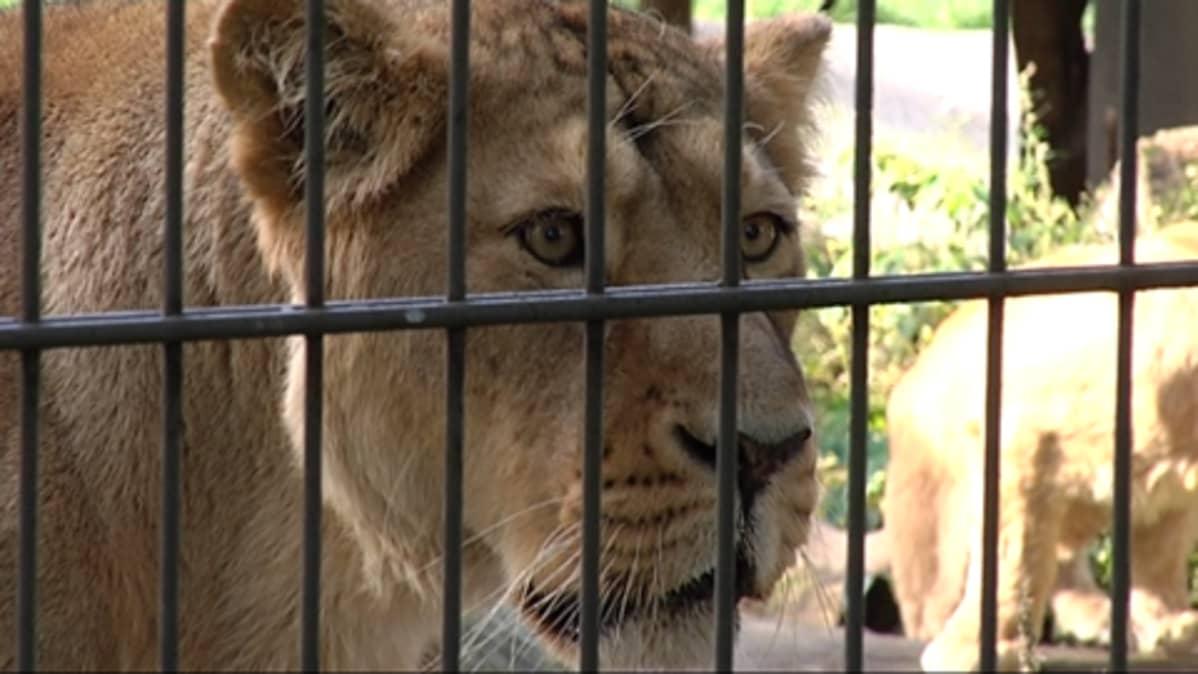 Kuvassa Korkeasaaren leijona häkissään.