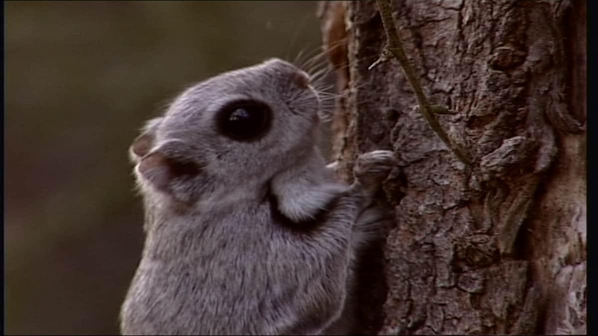 Liito-orava