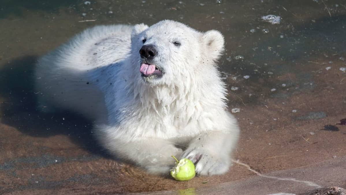 Jääkarhun pentu syö