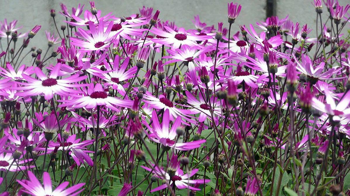 Haitallisen kurtturuusun tunnistaminen ja torjunta pihalla ja puutarhassa