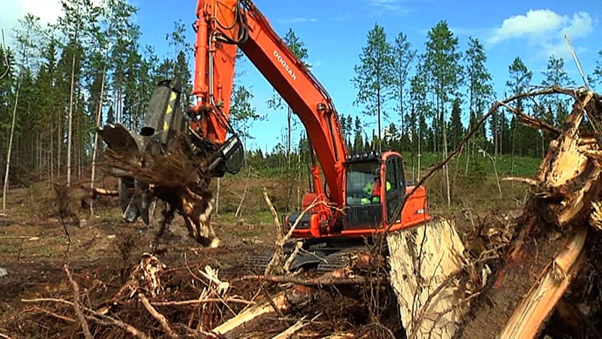 Kaivinkone kaivaa kantoja, energiapuuta avohakkuulta ja asettelee kasoihin.