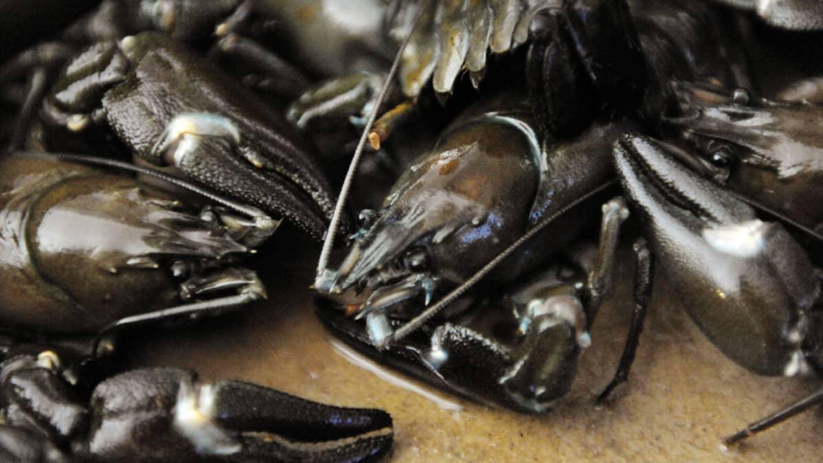 Elävä täplärapu (Pacifastacus leniusculus) ennen keittämistä.