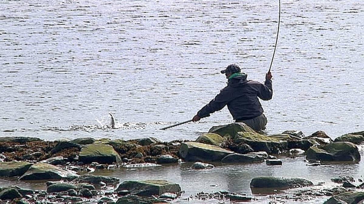 Tenon taimen ei kestä lisäkalastusta | Yle Uutiset | yle fi
