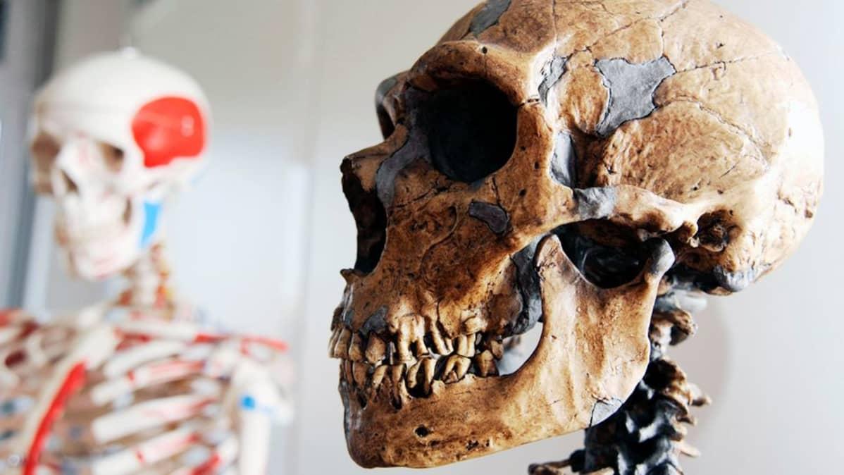 Neandertalilaismiehen kallo.