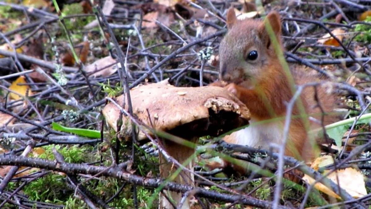Orava syö sientä