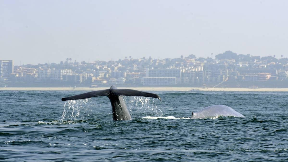Valas meressä, taustalla kaupunki rannikolla.