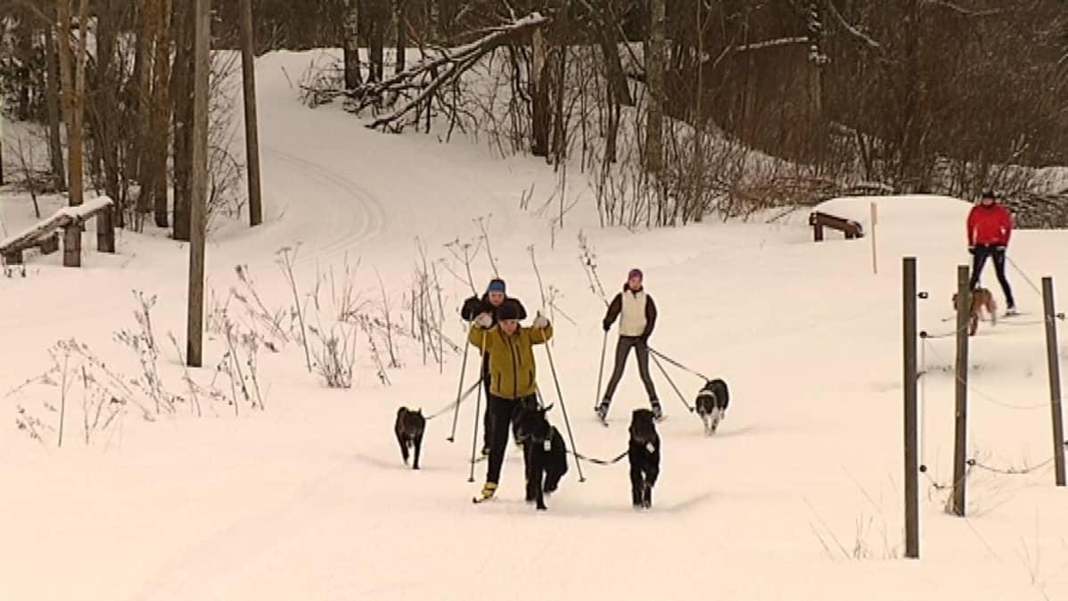 Ihmisiä hiihtämässä koirien kanssa.