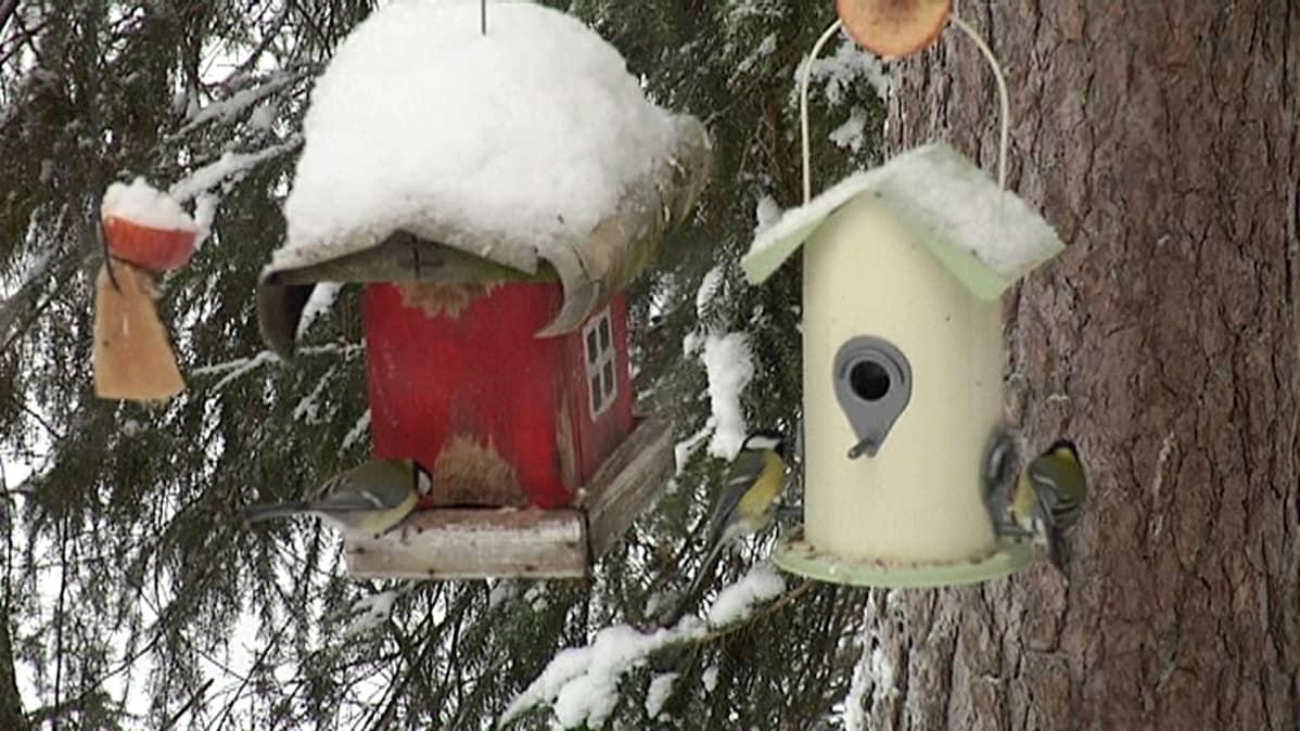 Talitiaisia ruokailemassa lintulaudalla.