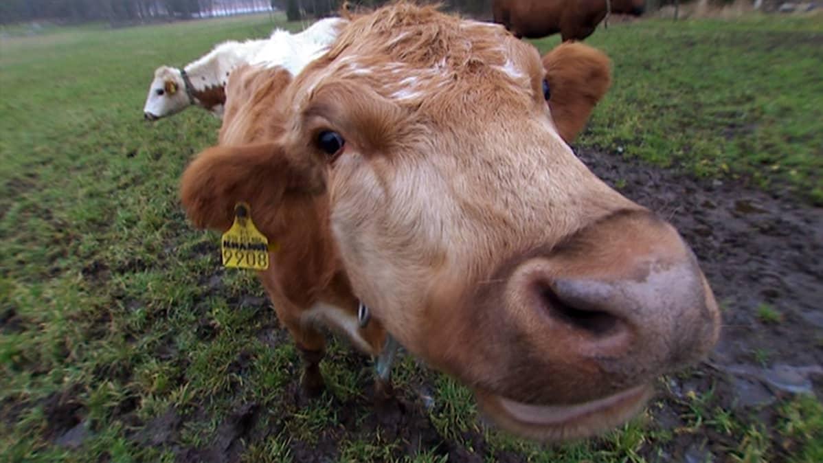 lähikuva lehmästä