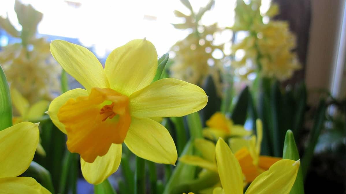 Narsissi, jonka takana näkyy kellertäviä hyasintteja