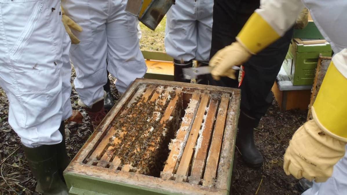 Mehiläisenhoidon opiskelijoita pesällä.