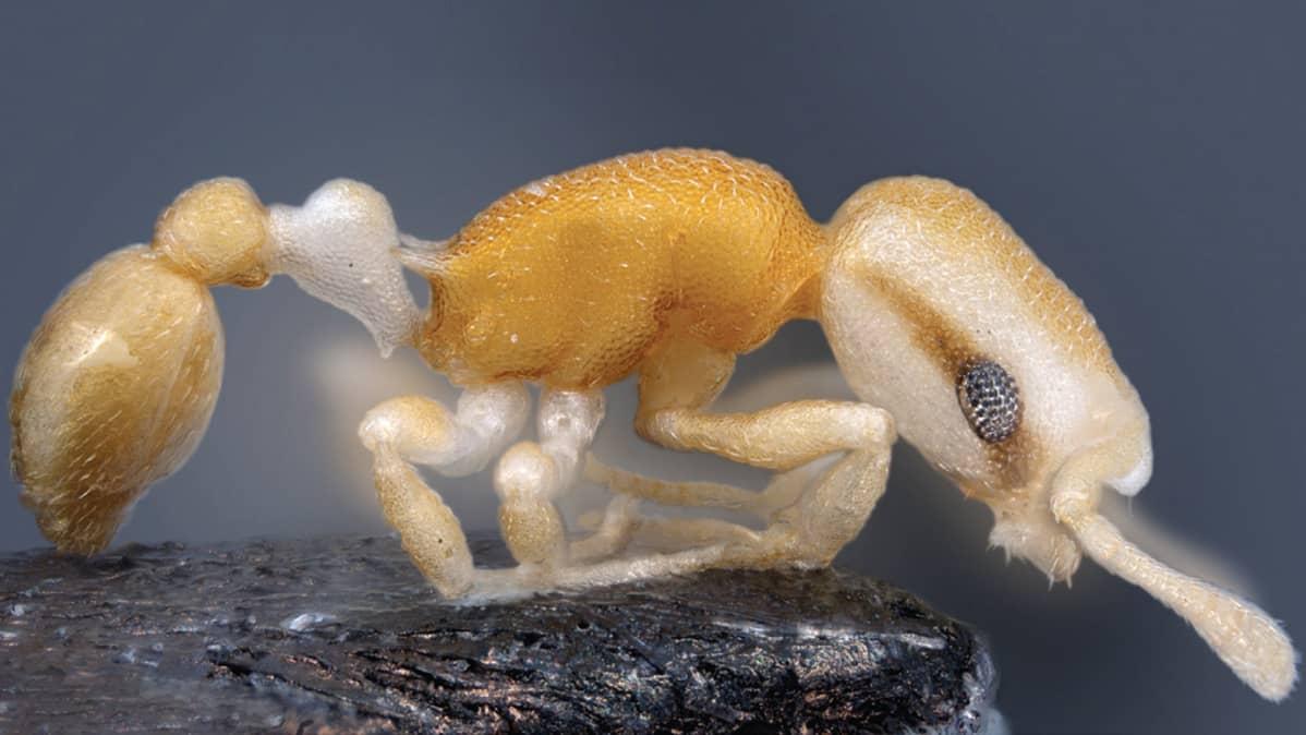 Afrikkalainen munaa vittu