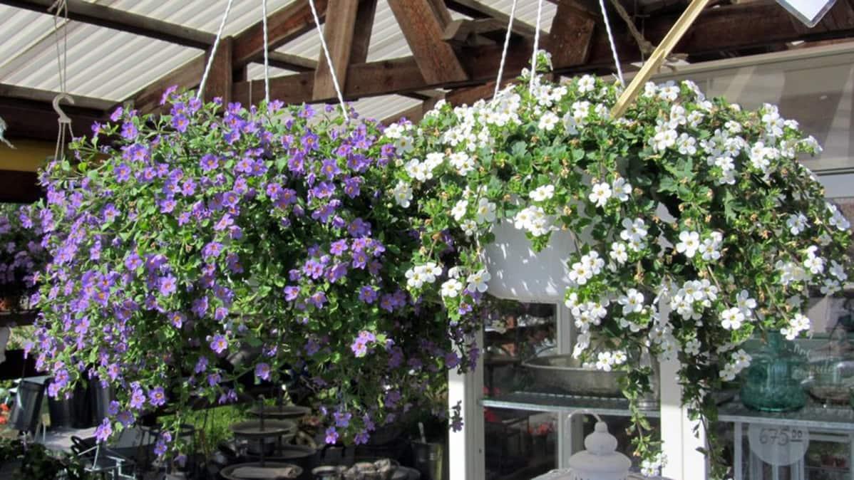 Kuvassa näkyy kaksi roikkuvaa amppelia, joissa toisessa on liiloja lumihiutele-kukkia ja toisessa valkoisia.