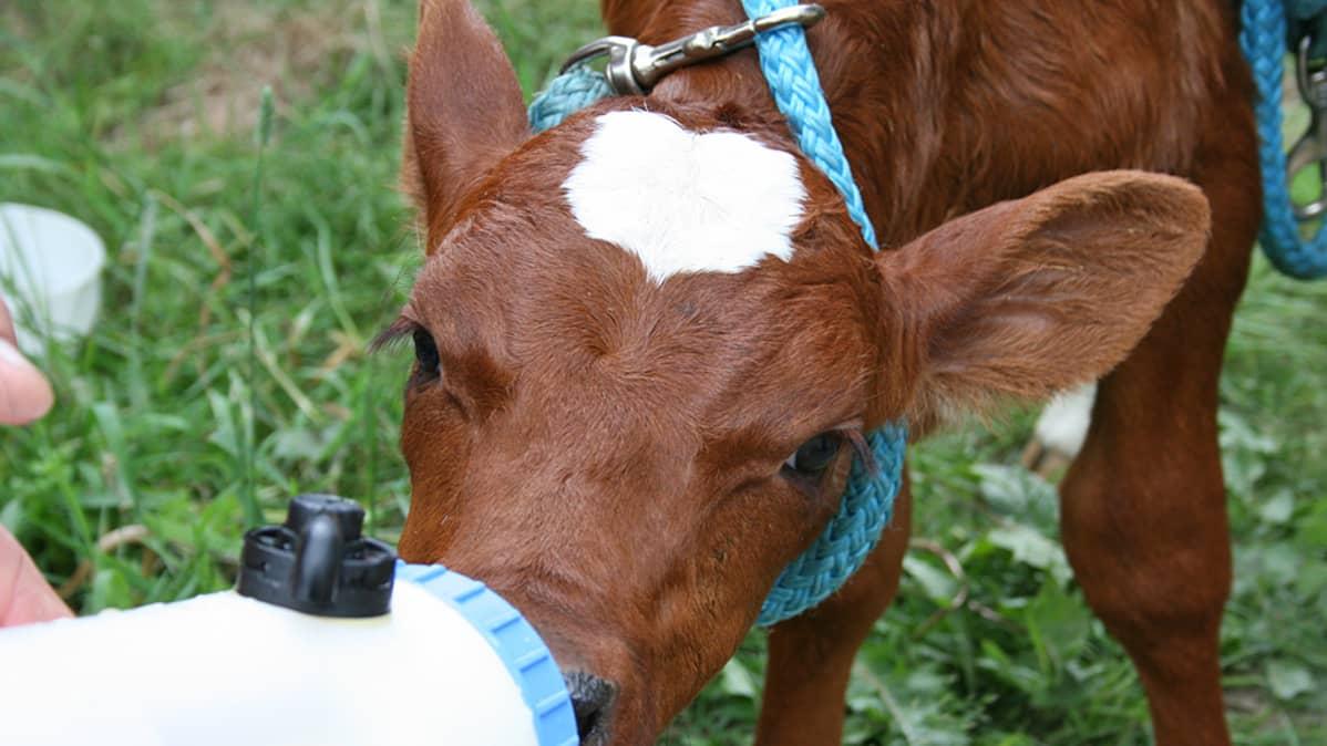 Vasikkakolmosille juotetaan maitoa pullosta.
