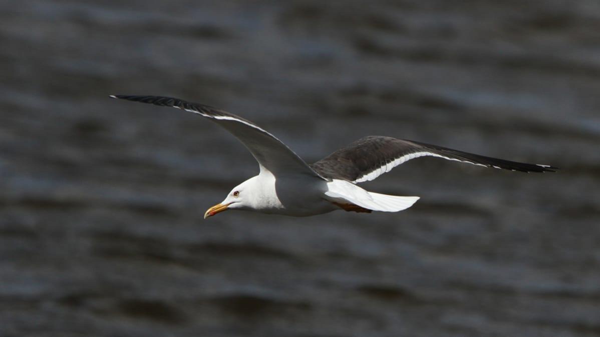 Selkälokki lentää Haminan Lupinlahdella.