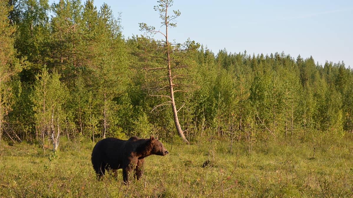 Karhu seisoo metsän reunalla ja katselee kaukaisuuteen.