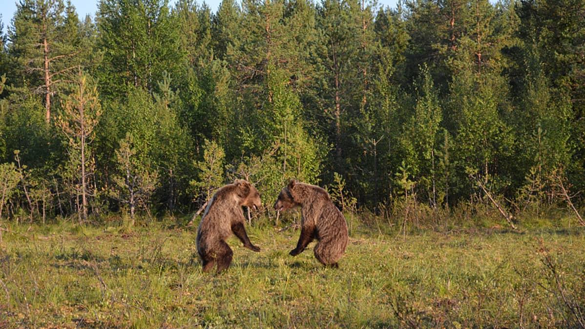 Kaksi pikku karhua metsän laidassa tuijottavat toisiaan takajaloillaan seisten.