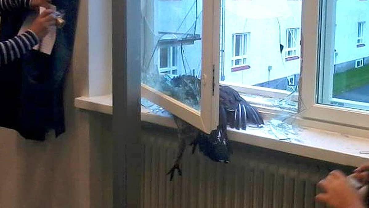 Metso on lentänyt ikkunan läpi liikuntasaliin.