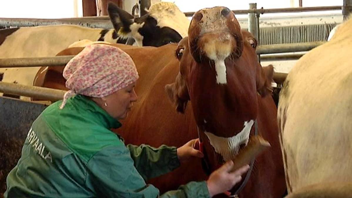 Lomittaja harjaa lehmän kaulaa.
