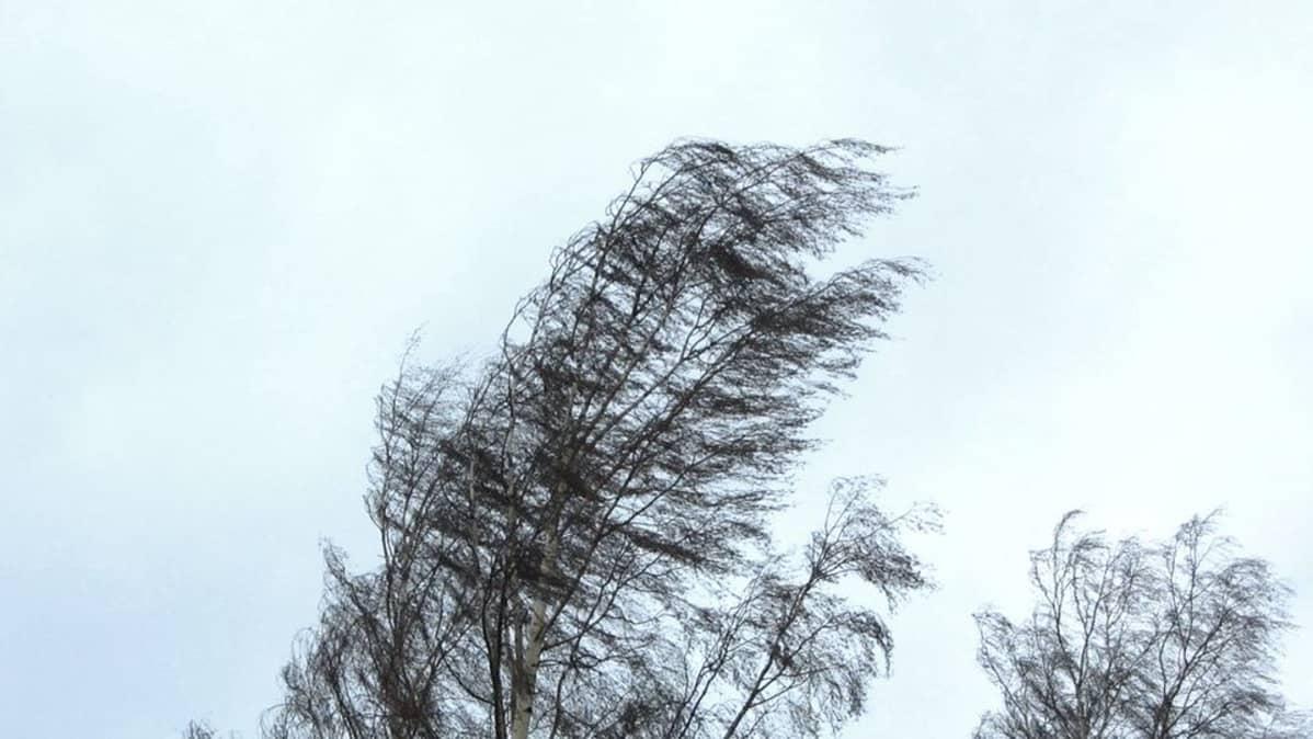 Tuuli taivuttaa koivua