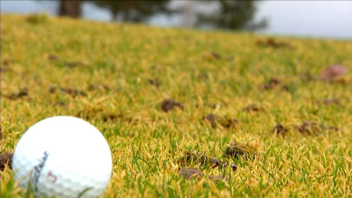 Golfpallo viheriöllä.