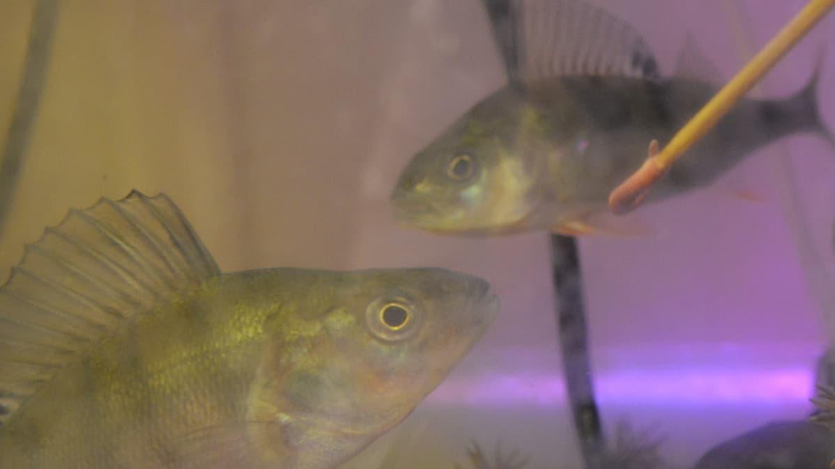 Suomussalmen akvaarioahvenia ruokitaan grillitikkuun tökätyllä madolla.