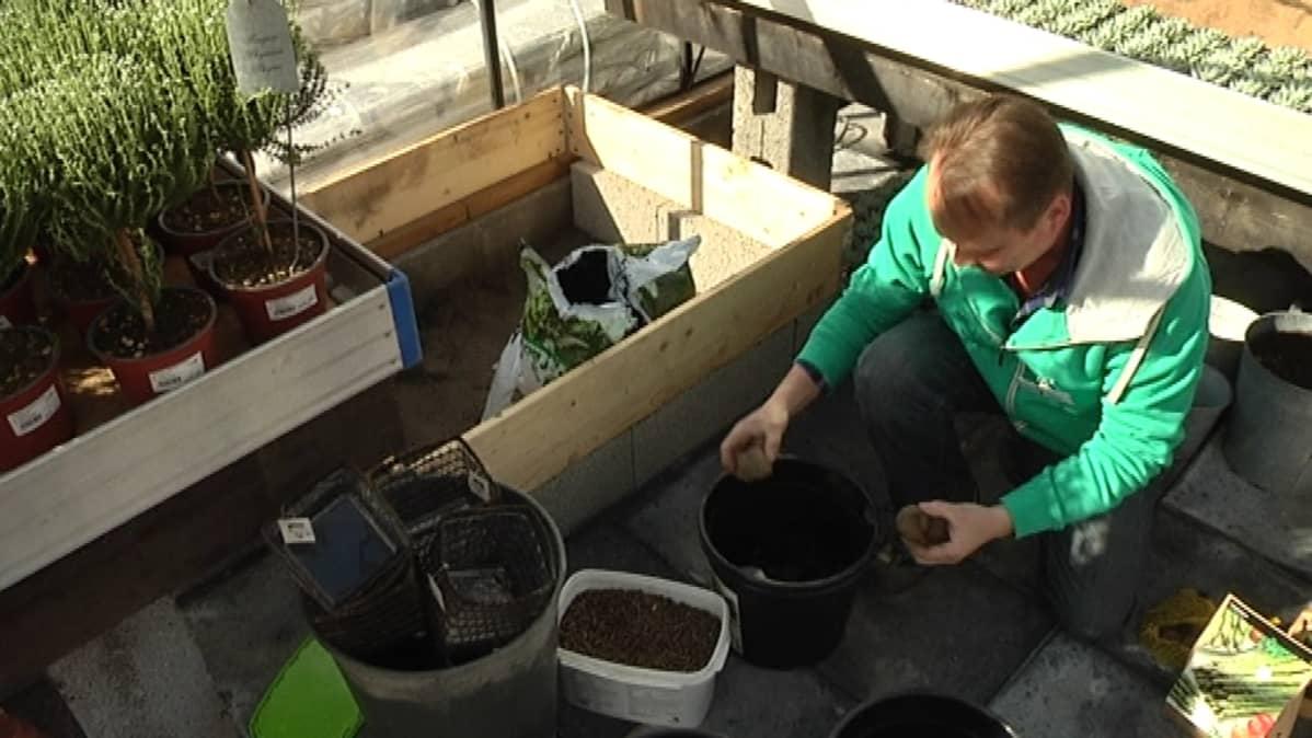 Mies laittaa perunoita kasvamaan ämpäriin