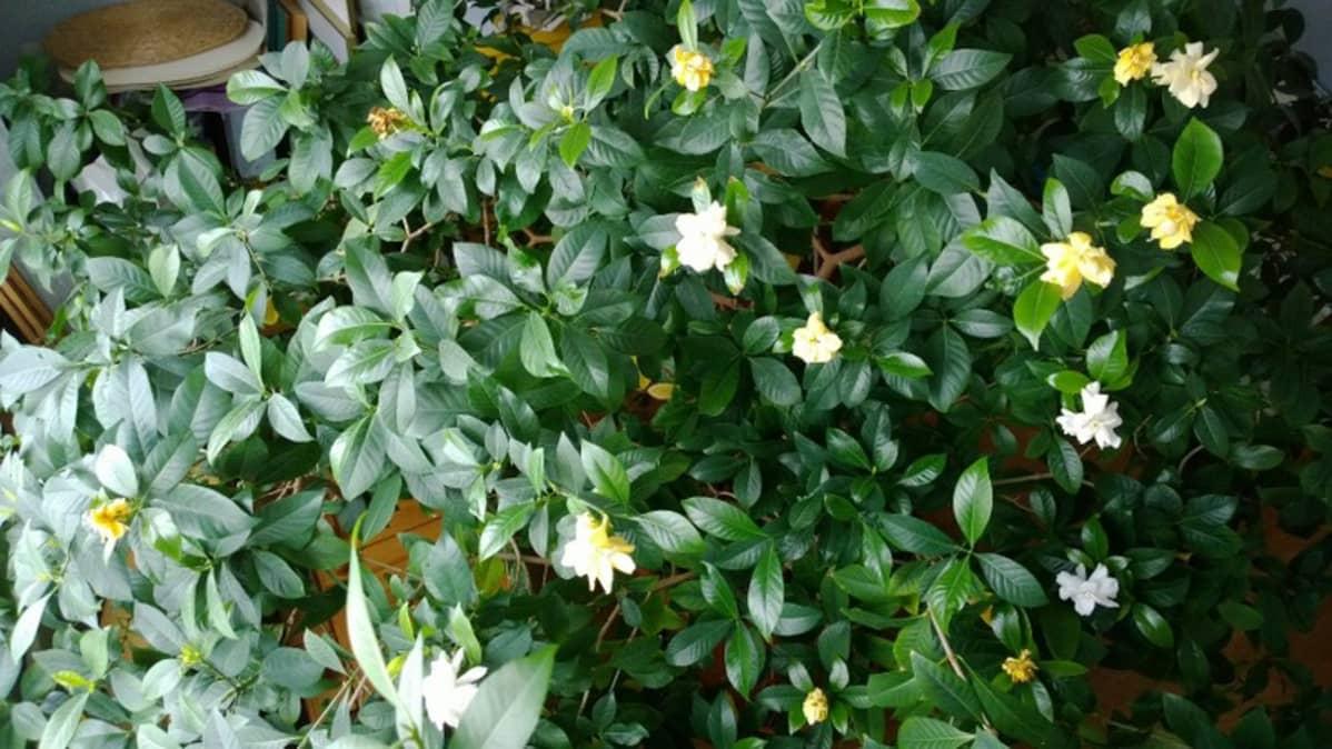 Kukkiva gardenia