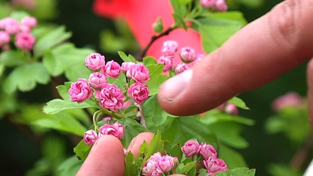 Ruusuorapihlajan kukat nupullaan