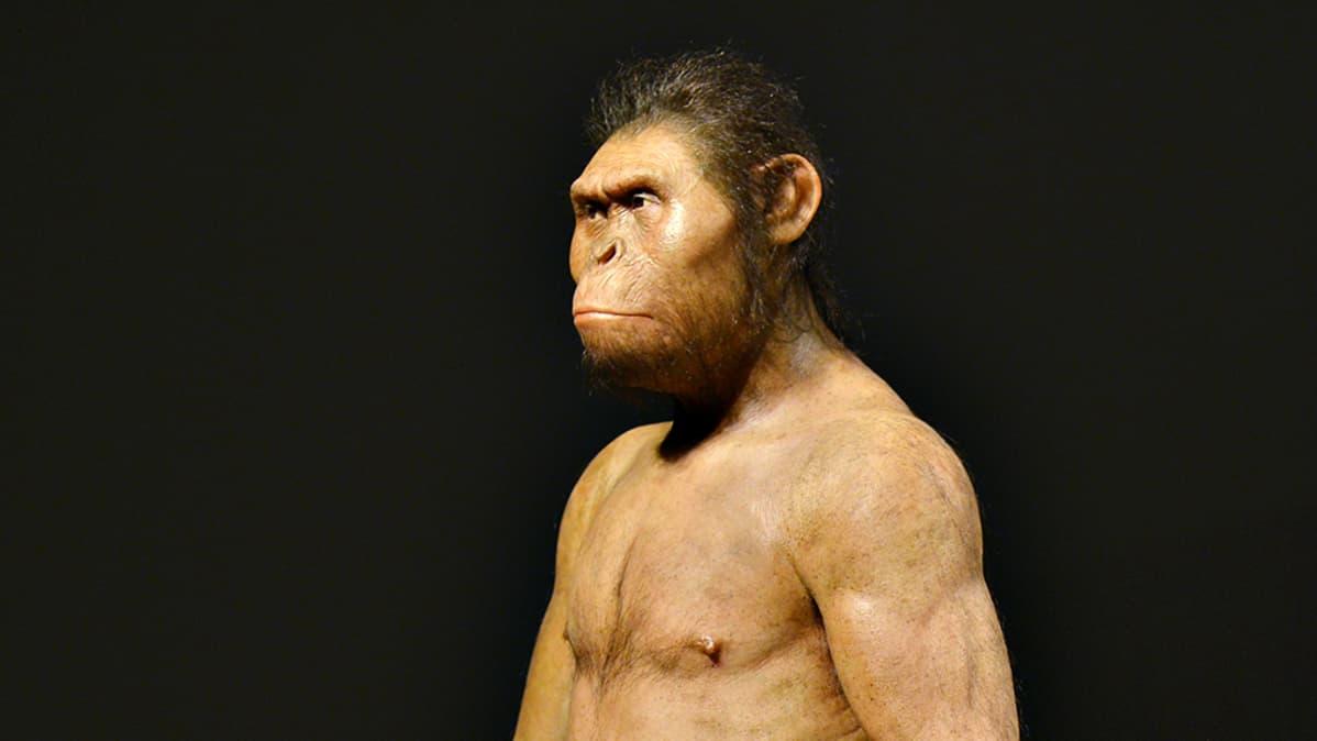 Australopithecus-suvun vahanukkejäljitelmä.