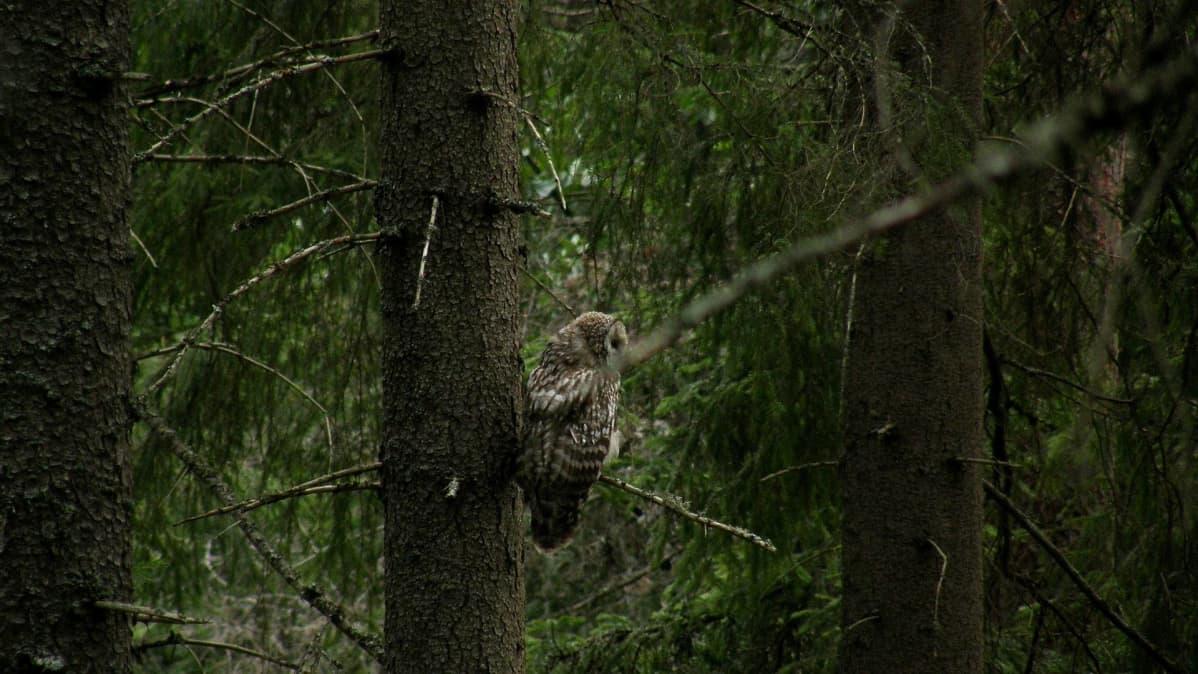 Pöllö Evon vanhassa metsässä.