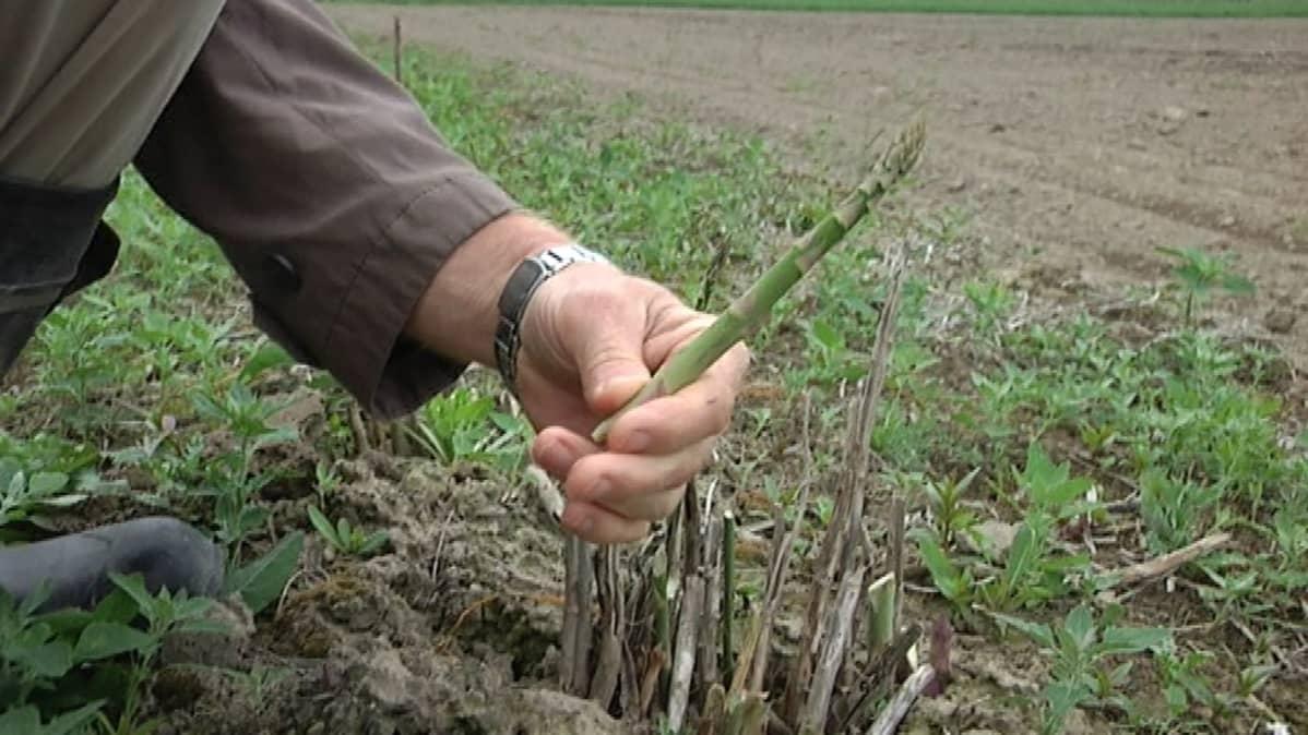 Vastapoimittu parsa viljelijän kädessä.